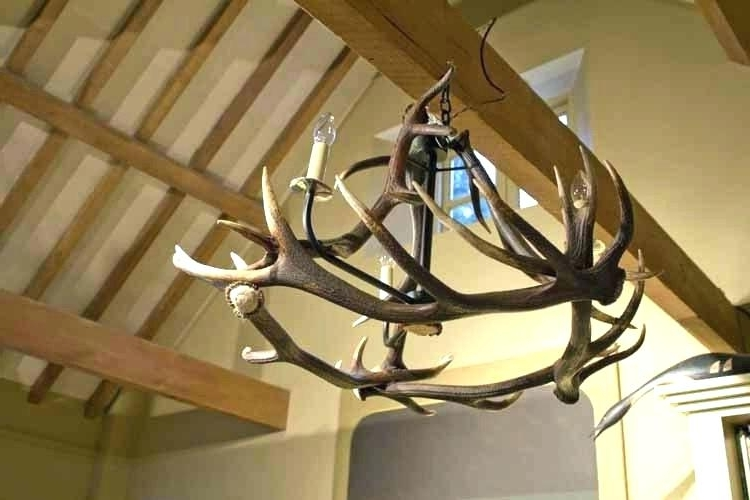 Newest Stag Horn Chandelier With Horn Chandelier And Deer Antler Chandelier For Sale Chandeliers Real (View 5 of 10)