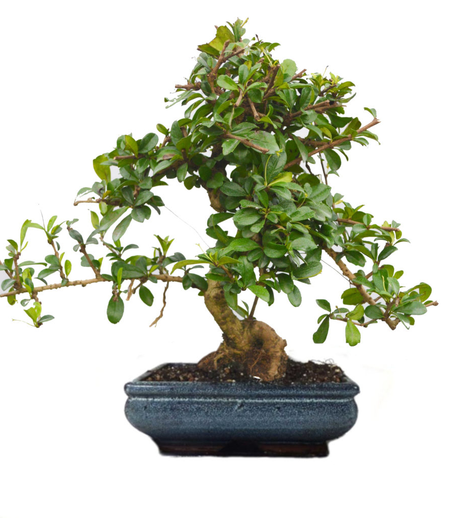 [%buy Carmona Bonsai Plant In Ceramic Pot – 9 Yrs Old – 30% Cashback | Abana Homes Pertaining To Most Recent Carmon Ceramic Garden Tool|carmon Ceramic Garden Tool With Widely Used Buy Carmona Bonsai Plant In Ceramic Pot – 9 Yrs Old – 30% Cashback | Abana Homes|most Popular Carmon Ceramic Garden Tool For Buy Carmona Bonsai Plant In Ceramic Pot – 9 Yrs Old – 30% Cashback | Abana Homes|current Buy Carmona Bonsai Plant In Ceramic Pot – 9 Yrs Old – 30% Cashback | Abana Homes Throughout Carmon Ceramic Garden Tool%] (View 19 of 30)