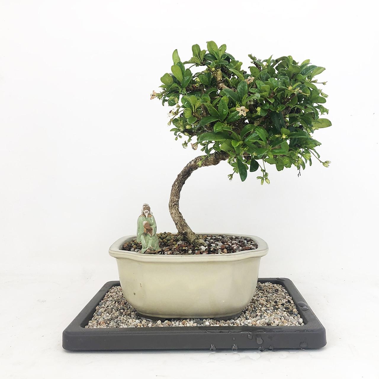 Most Current Carmona 6 Pot Indoor Houseplant Fukien Tea Bonsai Tree Inside Carmon Ceramic Garden Tool (View 24 of 30)
