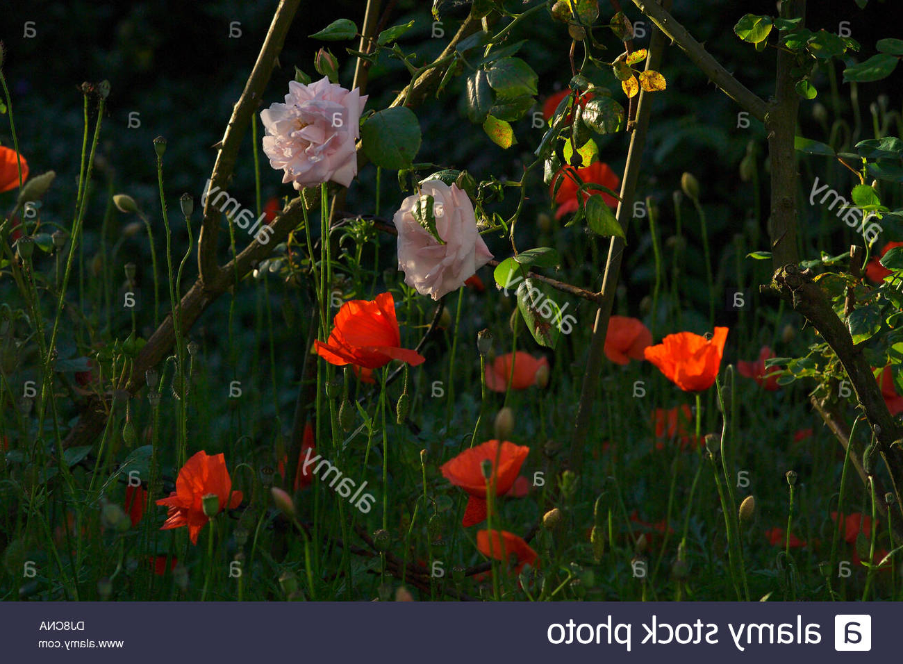 Most Recently Released Wilde Poppies Ceramic Garden Stools With Regard To Pink Roses And Red Poppies Stock Photo – Alamy (View 20 of 30)